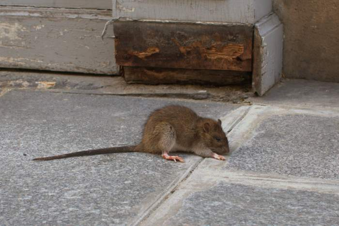 This mouse was barely moving. Must have been poisoned.